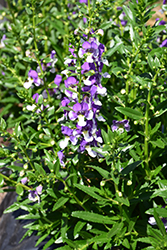 Angelface® Wedgewood Blue Angelonia (Angelonia angustifolia 'Angelface Wedgewood Blue') at Martin's Home & Garden
