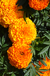 Taishan Orange Marigold (Tagetes erecta 'Taishan Orange') at Martin's Home & Garden