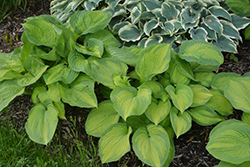 Brother Stefan Hosta (Hosta 'Brother Stefan') at Martin's Home and Garden