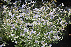 Touch Of Class Jacob's Ladder (Polemonium reptans 'Touch Of Class') at Martin's Home & Garden