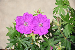 New Hampshire Purple Cranesbill (Geranium sanguineum 'New Hampshire Purple') at Martin's Home & Garden