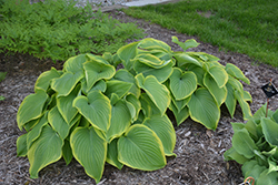 Victory Hosta (Hosta 'Victory') at Martin's Home and Garden