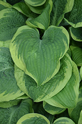 Mint Julep Hosta (Hosta 'Mint Julep') at Martin's Home & Garden
