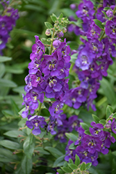 Angelface® Blue Angelonia (Angelonia angustifolia 'Angelface Blue') at Martin's Home & Garden