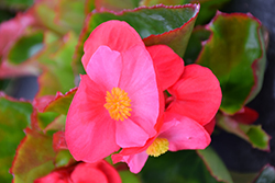 Big® Rose Green Leaf Begonia (Begonia 'Big Rose Green Leaf') at Martin's Home & Garden