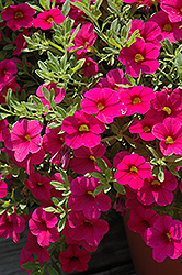Million Bells® Bouquet Brilliant Pink Calibrachoa (Calibrachoa 'Million Bells Bouquet Brilliant Pink') at Martin's Home and Garden