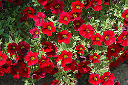 Lindura Red Calibrachoa (Calibrachoa 'Lindura Red') at Martin's Home & Garden
