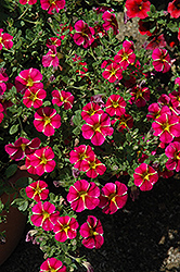 Superbells® Cherry Star Calibrachoa (Calibrachoa 'Superbells Cherry Star') at Martin's Home & Garden