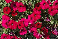Sanguna Burgundy Petunia (Petunia 'Sanguna Burgundy') at Martin's Home and Garden