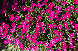 Littletunia Rose Petunia (Petunia 'Littletunia Rose') at Martin's Home and Garden