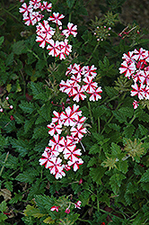 Lanai® Candy Cane Verbena (Verbena 'Lanai Candy Cane') at Martin's Home and Garden
