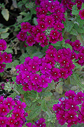 Estrella Dark Purple Verbena (Verbena 'Estrella Dark Purple') at Martin's Home & Garden