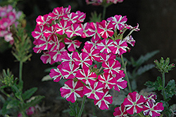 Estrella Pink Star Verbena (Verbena 'Estrella Pink Star') at Martin's Home and Garden