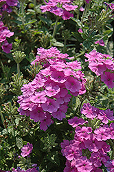 Empress™ Flair Lavender Blue Verbena (Verbena 'Empress Flair Lavender Blue') at Martin's Home and Garden