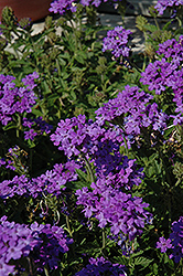 Superbena® Royale Chambray Verbena (Verbena 'Superbena Royale Chambray') at Martin's Home and Garden