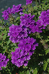 Superbena® Dark Blue Verbena (Verbena 'Superbena Dark Blue') at Martin's Home & Garden