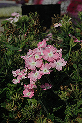 Aztec Light Pink Verbena (Verbena 'Aztec Light Pink') at Martin's Home & Garden
