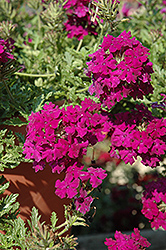 Aztec Magic Plum Verbena (Verbena 'Aztec Magic Plum') at Martin's Home and Garden