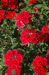 Empress™ Strawberry Verbena (Verbena 'Empress Strawberry') at Martin's Home & Garden