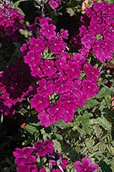 Empress™ Purple Verbena (Verbena 'Empress Purple') at Martin's Home & Garden