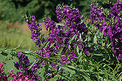 Carita Cascade Deep Purple Angelonia (Angelonia angustifolia 'Carita Cascade Deep Purple') at Martin's Home and Garden