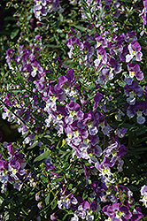 Adessa Blue Angelonia (Angelonia angustifolia 'Adessa Blue') at Martin's Home and Garden