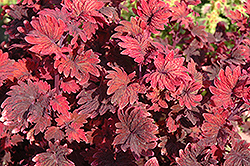 Gnash Rambler Coleus (Solenostemon scutellarioides 'Gnash Rambler') at Martin's Home and Garden