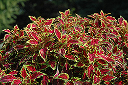 Aurora Black Cherry Coleus (Solenostemon scutellarioides 'Aurora Black Cherry') at Martin's Home & Garden