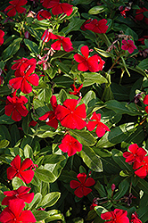 Titan™ Dark Red Vinca (Catharanthus roseus 'Titan Dark Red') at Martin's Home & Garden