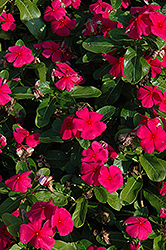 Titan™ Punch Vinca (Catharanthus roseus 'Titan Punch') at Martin's Home and Garden