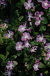 Titan™ Lavender Blue Halo Vinca (Catharanthus roseus 'Titan Lavender Blue Halo') at Martin's Home and Garden