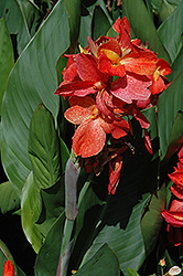 South Pacific™ Scarlet Canna (Canna 'South Pacific Scarlet') at Martin's Home & Garden