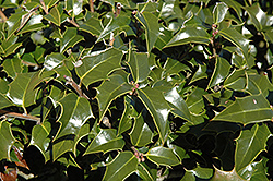 Dragon Lady Holly (Ilex x aquipernyi 'Meschick') at Martin's Home and Garden