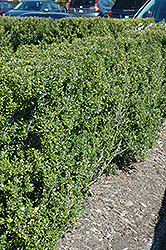 Steeds Japanese Holly (Ilex crenata 'Steeds') at Martin's Home and Garden