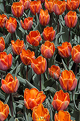 Princess Irene Tulip (Tulipa 'Princess Irene') at Martin's Home and Garden