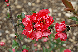 Double Take Pink™ Flowering Quince (Chaenomeles speciosa 'Double Take Pink Storm') at Martin's Home and Garden