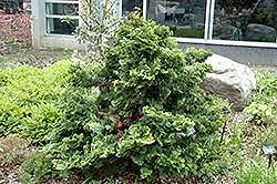 Repens Hinoki Falsecypress (Chamaecyparis obtusa 'Repens') at Martin's Home & Garden
