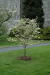 Appalachian Spring Flowering Dogwood (Cornus florida 'Appalachian Spring') at Martin's Home and Garden
