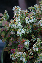 Jelly Bean® Blueberry (Vaccinium 'ZF06-179') at Martin's Home and Garden
