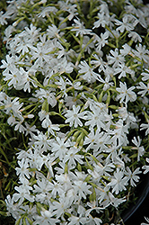 Snowflake Phlox (Phlox subulata 'Snowflake') at Martin's Home and Garden