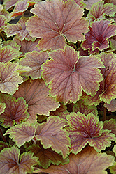 Delta Dawn Coral Bells (Heuchera 'Delta Dawn') at Martin's Home & Garden