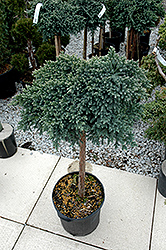 Blue Star Juniper (Juniperus squamata 'Blue Star (tree form)') at Martin's Home & Garden