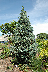 Upright Colorado Spruce (Picea pungens 'Fastigiata') at Martin's Home and Garden