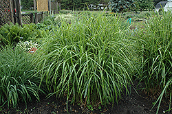 Porcupine Grass (Miscanthus sinensis 'Strictus') at Martin's Home and Garden