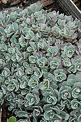 Japanese Stonecrop (Sedum cauticola) at Martin's Home and Garden