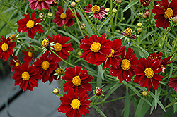 Mercury Rising Tickseed (Coreopsis 'Mercury Rising') at Martin's Home & Garden