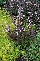 Dark Towers Beard Tongue (Penstemon 'Dark Towers') at Martin's Home and Garden