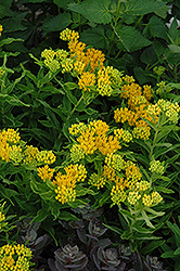 Hello Yellow Milkweed (Asclepias tuberosa 'Hello Yellow') at Martin's Home and Garden