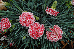 Coral Reef Pinks (Dianthus 'WP07OLDRICE') at Martin's Home and Garden