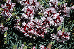 Coconut Punch Pinks (Dianthus 'Coconut Punch') at Martin's Home & Garden